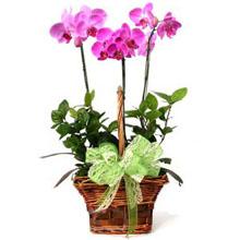 3 phalaenopsis orchids