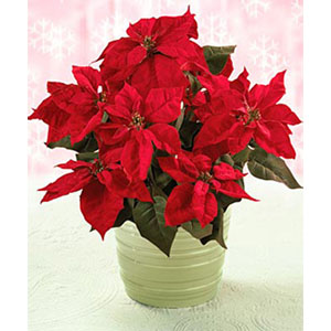 Red Poinsettia ( Xmas Plant )